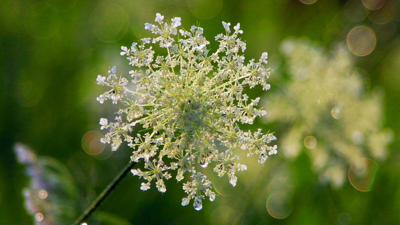 Queen Anne Lace Dew